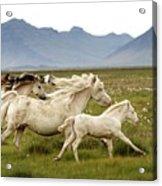 Running Wild In Iceland Acrylic Print