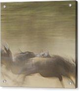 Running Wildebeest II Acrylic Print