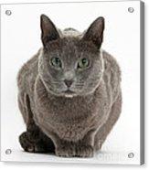 Russian Blue Cat Acrylic Print