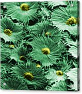 Russian Silverberry Leaf  Acrylic Print