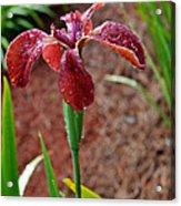 Rust Colored Beardless Iris Acrylic Print