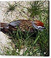 Rusty Capped Sparrow Acrylic Print