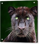 Saber Acrylic Print by Big Cat Rescue