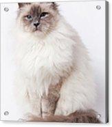 Sacred Birman Cat With Blue Eyes Acrylic Print