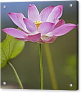 Sacred Lotus Nelumbo Nucifera Flower Acrylic Print