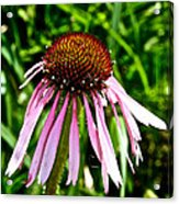 Sad Cone Flower Acrylic Print