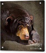 Sad Sun Bear Acrylic Print