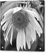 Sad Sunflower Black And White Acrylic Print