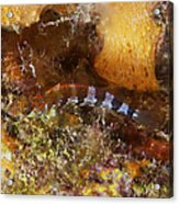 Saddled Blenny, Bonaire, Caribbean Acrylic Print