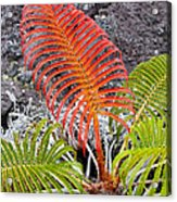Sadleria Fern Hawaii Acrylic Print