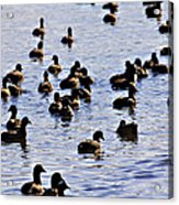 Safety In Numbers Acrylic Print by Douglas Barnard