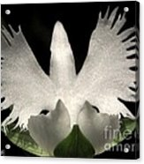 Sagi-so Or Crane Orchid Acrylic Print