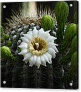 Saguaro Cactus Blooms  Acrylic Print