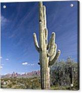Saguaro Cactus (carnegiea Gigantea) Acrylic Print