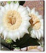 Saguaro Cactus Flowers Acrylic Print
