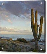 Saguaro Carnegiea Gigantea Cactus Acrylic Print