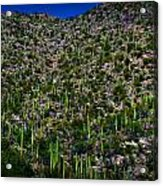 Saguaro Foothills Acrylic Print
