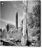Saguaro Skeleton Bw Acrylic Print