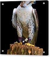 Saker Falcon Acrylic Print