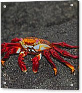 Sally Lightfoot Crab Acrylic Print by Tony Beck