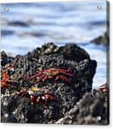 Sally Lightfoot Crabs Acrylic Print