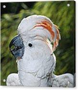 Salmon-crested Cockatoo Cacatua Acrylic Print