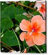 Salmon Impatiens And Dewdrops Acrylic Print