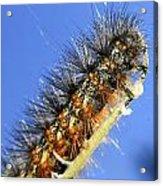 Salt Marsh Caterpillar Acrylic Print