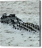 Salt Water Crocodile 3 Acrylic Print
