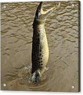 Salt Water Crocodile Acrylic Print