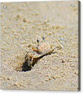 Sand Crab Digging His Hole Acrylic Print