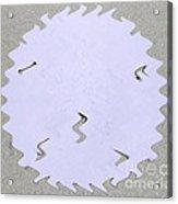 Sand Dollar Wiggle Acrylic Print