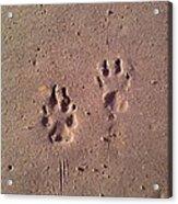 Sand Paws Acrylic Print