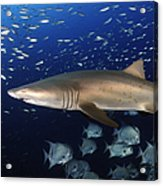Sand Tiger Shark Swimming In Blue Water Acrylic Print