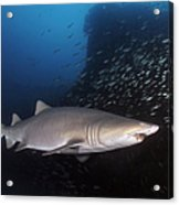 Sand Tiger Shark Swims By The Wreck Acrylic Print