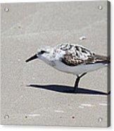 Sanderling On The Beach Acrylic Print