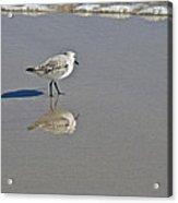 Sanderling Sandpiper - Calidris Alba  Acrylic Print