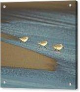 Sanderlings Feeding Acrylic Print