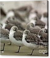 Sanderlings Try To Keep Warm At Corporation Beach In Dennis On C Acrylic Print
