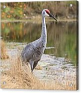 Sandhill Crane Beauty By The Pond Acrylic Print