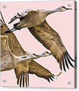 Sandhill Crane Family II Acrylic Print