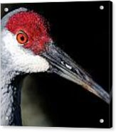 Sandhill Cranes Close Up Acrylic Print