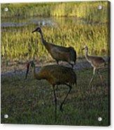 Sandhill Cranes Family Acrylic Print