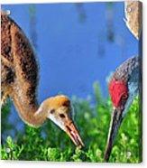 Sandhill Cranes Having Breakfast Acrylic Print