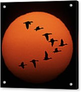 Sandhill Cranes Silhouetted Acrylic Print