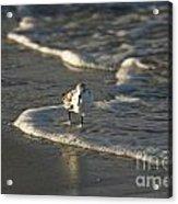 Sandpiper On Beach Acrylic Print