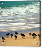 Sandpipers Acrylic Print
