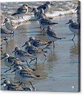 Sanderlings Acrylic Print