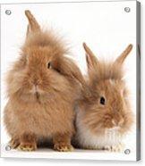Sandy Lionhead Rabbits Acrylic Print
