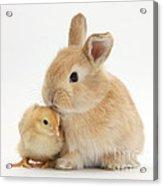 Sandy Rabbit And Yellow Bantam Chick Acrylic Print